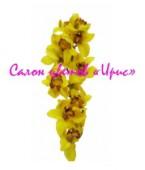 Орхидея Cymbidium ветка
