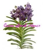 Орхидея Vanda