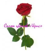 Роза красная, 70/80 см