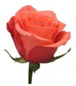 Роза других цветов