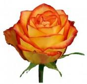 Роза хэд меджик